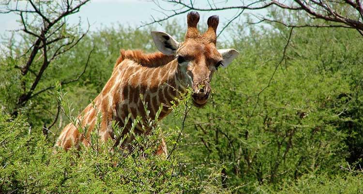 Safári na África do sul Madikwe